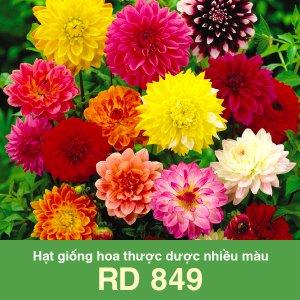 Hạt giống hoa thược dược nhiều màu RD 849