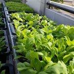 Quy trình trồng rau sạch tại nhà đơn giản và hiệu quả