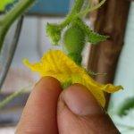 Cách thụ phấn cho cây họ bầu - bí - mướp