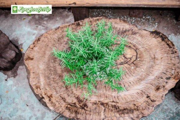 cây hương thảo đuổi muỗi