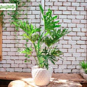 Trầu bà thanh xuânlà loàikiểng lá được sử dụng làm cây nội thất trồng trong chậu trang trí sảnh, phòng khách, văn phòng… Cây còn được trồngsân vườnngoại thất hoặc sử dụng trong các tiểu cảnh
