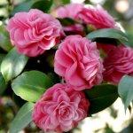 Cây hoa trà my đón tết - mùa xuân sẽ lan tỏa khắp nhà bạn.