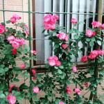 Cách làm giàn leo hoa hồng bằng những vật liệu đơn giản