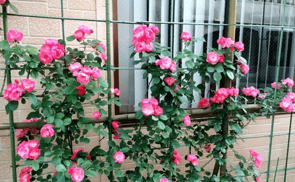 Ống thép bọc nhựa làm giàn leo hoa hồng