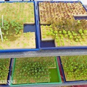 trồng rau thủy canh bằng mút xốp