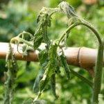 Biện pháp phòng trừ bệnh héo xanh trên cây cà chua của bạn