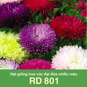Hạt giống hoa cúc đại đóa nhiều màu RD 801 2