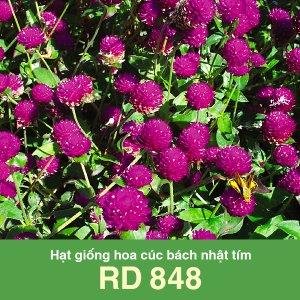 Hạt giống hoa cúc bách nhật tím Rado 848 1 1