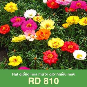Hạt giống hoa mười giờ nhiều màu Rado 810 1 1