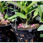 Phân bón tan chậm có thích hợp cho hoa lan không?
