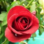 Cách chăm sóc hoa hồng tại nhà đơn giản mà ra nhiều hoa
