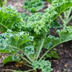 5 bước trong kỹ thuật trồng Cải Xoăn trồng Cải Kale đơn giản