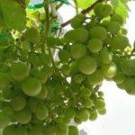 Cách trồng và chăm sóc cây nho trên sân thượng đơn giản