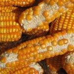 Cách thụ phấn bổ sung thụ phấn cho ngô trồng sân thượng