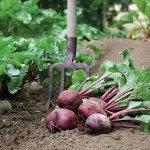 Cách trồng củ dền đỏ trong khay chậu cực kỳ đơn giản