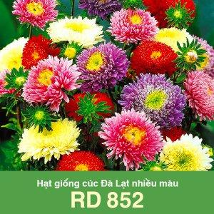 Hạt giống cúc Đà Lạt nhiều màu RD 852