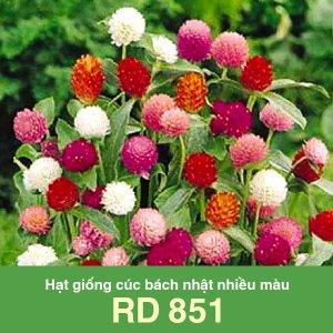 Hạt giống cúc bách nhật nhiều màu RD 851