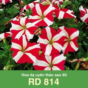 Hoa dạ uyên thảo sao đỏ RD 814