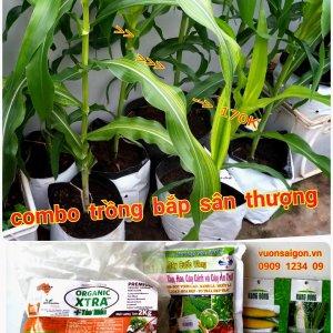 combo trồng bắp sân thượng