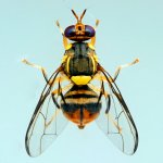 Phòng trừ ruồi vàng đục trái ruồi đục trái trên họ bầu bí