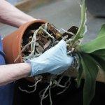 Cách thay chậu cho lan để lan phục hồi và ra hoa trở lại