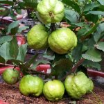 Cách chăm sóc cây ăn trái trồng trong chậu một cách hiệu quả