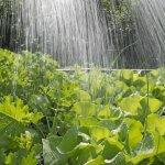 Những lưu ý khi trồng rau sạch trồng rau mùa mưa bão