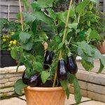Cách trồng cà tím ra nhiều quả tại nhà cực đơn giản mà bạn chưa biết?