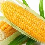 Cách trồng bắp tại nhà - bắp nếp, bắp ngọt, bắp mỹ sân thượng
