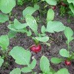 Hướng dẫn cách trồng củ cải đỏ tại nhà đơn giản hiệu quả