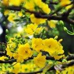 Cách xử lý hoa mai ra hoa đúng ngày tết