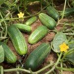 Hướng dẫn trồng dưa leo tại nhà đơn giản và hiệu quả