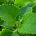 Những công dụng của rau tần dày lá đối với sức khỏe