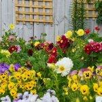 Cách trồng hoa cúc trong chậu bằng hạt thật đơn giản