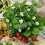 Cách xử lý ra hoa cho dâu tây