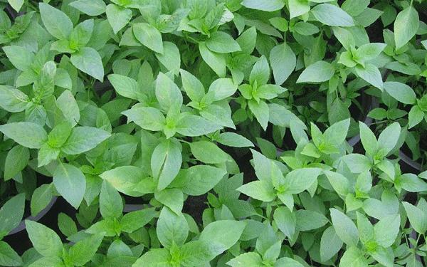 Cách trồng húng quế đơn giản tại nhà