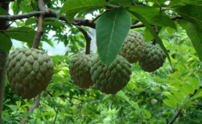 Kĩ thuật trồng cây na trong chậu dễ dàng