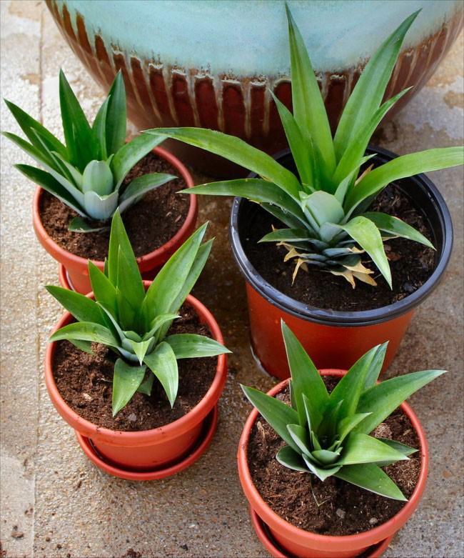 Cách trồng dứa (thơm) cực kì đơn giản tại nhà