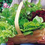 Kĩ thuật trồng rau Xà Lách đơn giản tại nhà