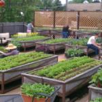 Những lưu ý cần thiết khi trồng rau tại nhà