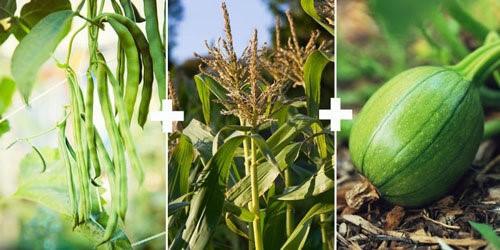 Cách trồng xen canh rau hữu cơ hiệu quả