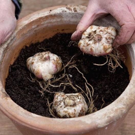 Xử lý củ giống và tiến hành trồng