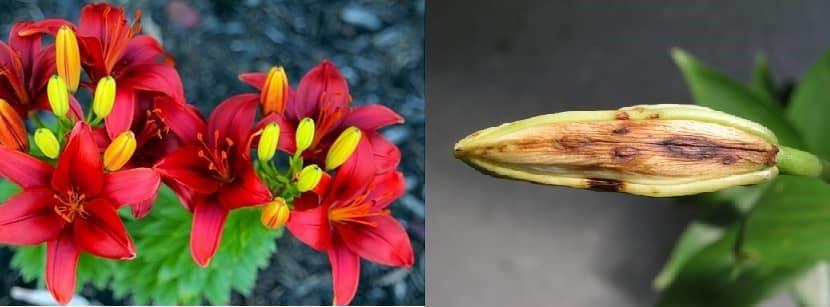 Bệnh trên hoa Lily