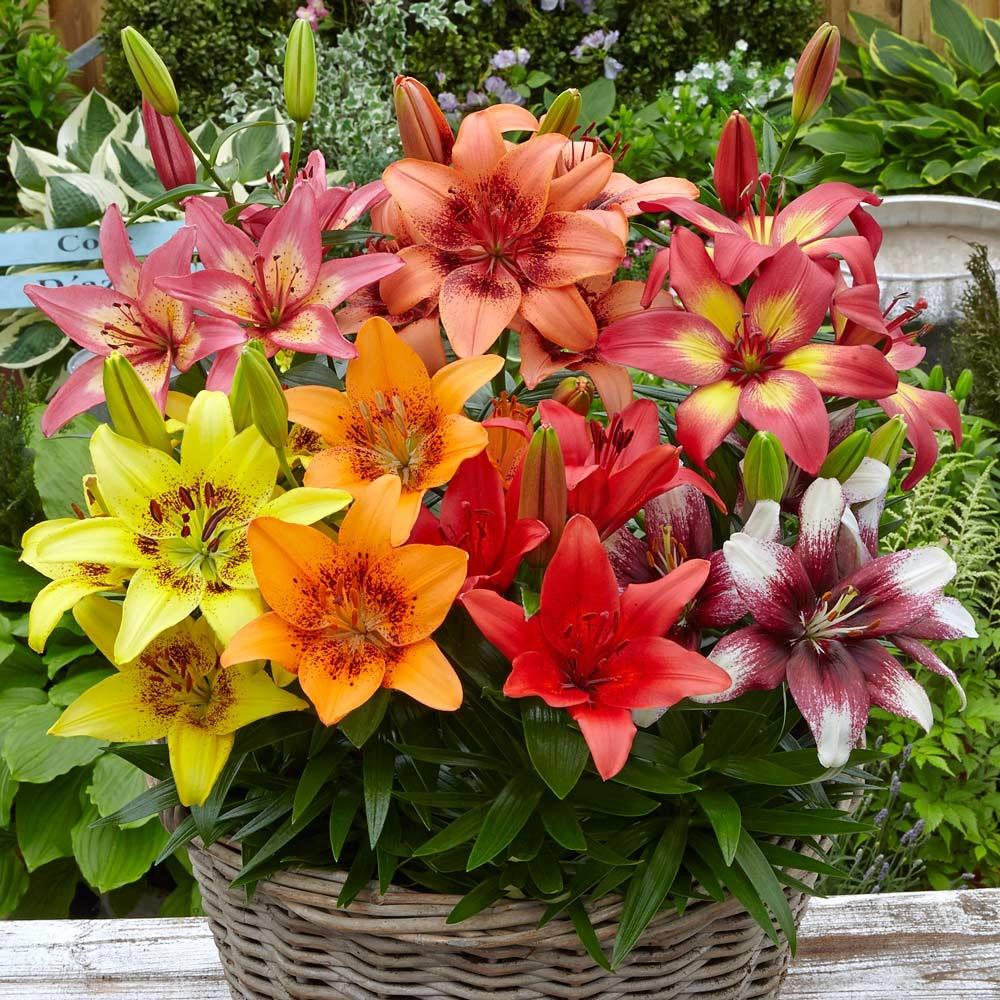 Thu hoạch hoa Lily