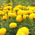 Kỹ thuật trồng hoa Vạn Thọ đón tết