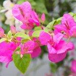 Cách chăm sóc cây hoa giấy nở hoa rực rỡ đón Tết