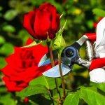 Cách tỉa cành hoa hồng đúng cách