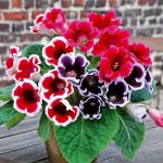 Mách bạn cách trồng hoa Tử La Lan đơn giản tại nhà