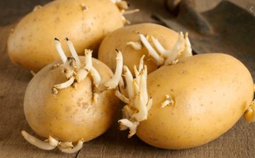 Bảo quản khoai tây nơi thoáng mát, tránh mọc mầm