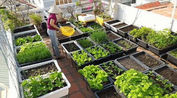Tự trồng rau sạch tại nhà sử dụng dần